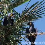 Cestovatelské přednášky - Brazílie - Ara hyacintový