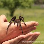 Cestovatelské přednášky - Brazílie - Tarantule