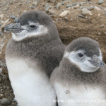 Cestovatelské přednášky - Patagonie - Mláďata tučňáků