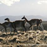 Cestovatelské přednášky - Patagonie - Lamy