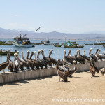 Cestovatelské přednášky - Severní Chile - Pelikáni